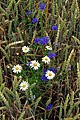 2.7.16 2 Flowers Sudoměř (27427671994).jpg