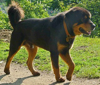 Bhotia dog Dog breed