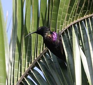 Nectarinia - Tacazze sunbird (Nectarinia tacazze)