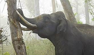 Asian elephant - Tusker debarking a tree