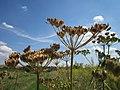 20120813Heracleum sphondylium8.jpg