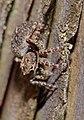 2013.06.04.-20-Viernheimer Heide Viernheim-Vierpunktspringspinne-Sitticus pubescens-Weibchen.jpg