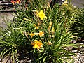 2014-08-02 11 52 44 Daylilies in Elko, Nevada.JPG