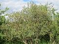 20140515Colutea arborescens01.jpg