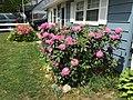 2015-05-17 14 41 24 Purple Rhododendrons and 'Rosebud' Azaleas blooming along Terrace Boulevard in Ewing, New Jersey.jpg