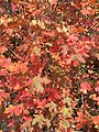 2015-09-29 12 38 48 Autumn foliage of Bigtooth Maple in Little Cottonwood Canyon, Utah.jpg