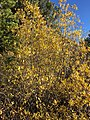 2015-10-31 09 55 35 Willow with yellow autumn foliage along the Mount Rose Trail about 2.7 miles northwest of Mount Rose Summit, Nevada.jpg
