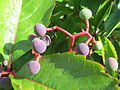 20150826Parthenocissus quinquefolia1.jpg