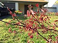 2016-04-08 17 33 05 Immature foliage and flower buds on a red-foliaged Japanese Maple along Tranquility Court in the Franklin Farm section of Oak Hill, Fairfax County, Virginia.jpg