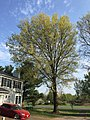2017-04-15 17 32 29 Pin Oak in bloom along Tranquility Court in the Franklin Farm section of Oak Hill, Fairfax County, Virginia.jpg