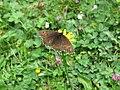 2017-07-15 (146) Erebia at Virgental, Austria.jpg