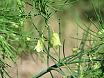 20170819Asparagus officinalis3.jpg
