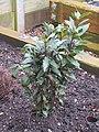 2018-04-10 Bay Laural bush, (Laurus nobilis), Northrepps, Cromer.JPG