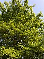 2018-05-11 19 04 18 Pin Oak foliage in mid-late spring along Ladybank Lane in Oak Hill, Fairfax County, Virginia.jpg