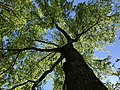 2019-04-27 16 28 36 View up into the canopy of a Pin Oak leafing out in mid-Spring along Franklin Farm Road near Thorngate Drive in the Franklin Farm section of Oak Hill, Fairfax County, Virginia.jpg