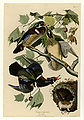 206 Summer or Wood Duck.jpg
