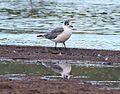 355 - FRANKLIN'S GULL (10-7-2015) adult basic, patagonia lake, santa cruz co, az -07 (22012665502).jpg