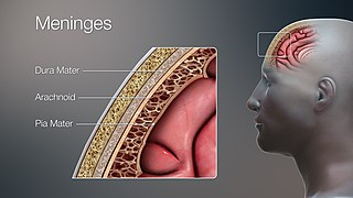 Meninges Membranes that envelop the brain and spinal cord