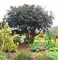 5 Diospyros whyteana - Cape Ebony tree 8.jpg
