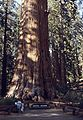 6209-GenShermanTree-SequoiaNatPark.jpg