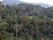 Foresta pluviale tropicale wikipedia - Gli animali della foresta pluviale di daintree ...