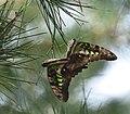 83綠斑鳳蝶8(游釗敏攝) (18855990028).jpg