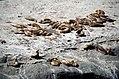 AR-Puerto-Mad-HI-Valdez-seelöwen.jpg