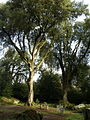 A Blarney Castle Tree - geograph.org.uk - 596688.jpg