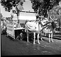A Congress procession including bullocks and a flag - a pair of bullocks was the election symbol of the Congress Party in 1952.jpg