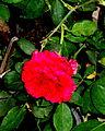 A Rose in Solitude.JPG