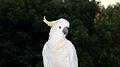 A Sulphur Crested White Cockatoo (Cacatua galerita), Cronulla, NSW Australia.jpg