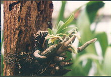 A and B Larsen orchids - Dendrobium delacourii 437-4.jpg