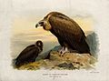 A black vulture (Vultur monachus). Chromolithograph by W. Gr Wellcome V0022219.jpg