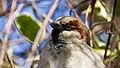 A close up of house sparrow head.jpg
