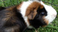 A colourful guinea pig on grass.png
