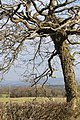 A hedge, a field and a wonderful tree - geograph.org.uk - 1172839.jpg