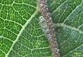A leafhopper (RL) (16169775476).jpg