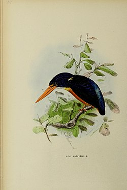 A monograph of the Alcedinidae (19646787179).jpg