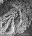 A monograph of the terrestrial Palaeozoic Arachnida of North America photos 47-52 50.png