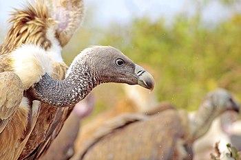 A portrait of Long-billed Vulture.jpg