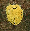 A slime mould - Flickr - S. Rae.jpg