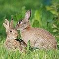 A splitted ear rabbit with his friend at Hoge Erf Schaarsbergen - panoramio.jpg