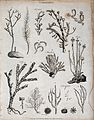 A variety of corallines, including tubular and celliferous c Wellcome V0022020.jpg