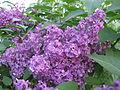 Ab plant 548.jpg