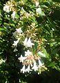 Abelia × grandiflora kz1.jpg