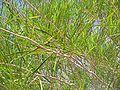 Acacia-microneura-seed-pod.jpg
