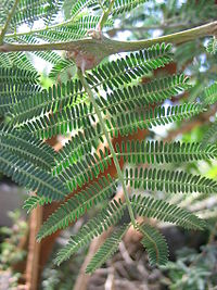 Acacia-seyal-leaves