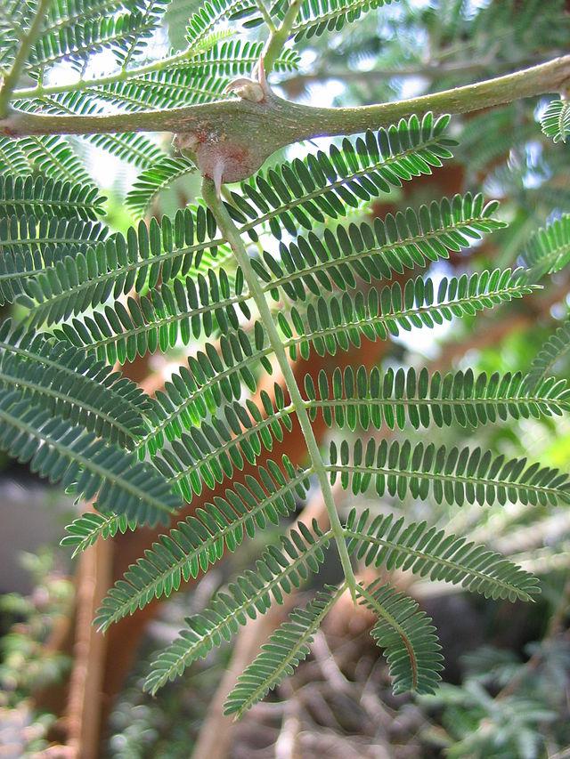 feuilles de l'acacia seyal