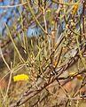 Acacia aneura flowers and foliage.jpg