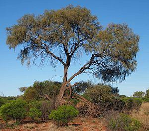 Ironwood - Image: Acacia estrophiolata habit